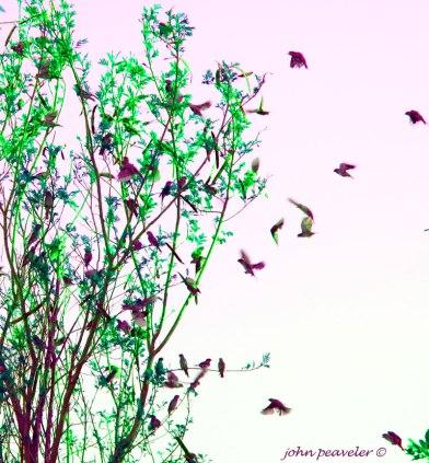 Birds-Kuwaiti
