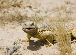 Egyptian Spiny Tail Lizard