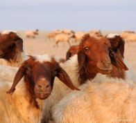 Fatty-tailed sheep in western Kuwait.